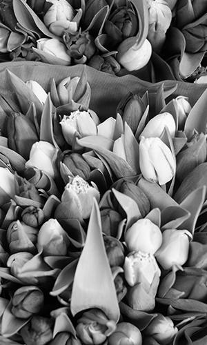 dca-holland-tulips